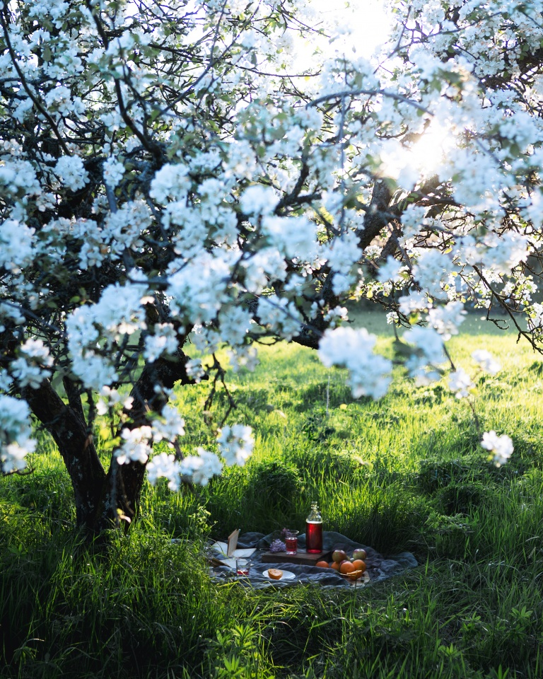 Picnic under a blooming apple tree