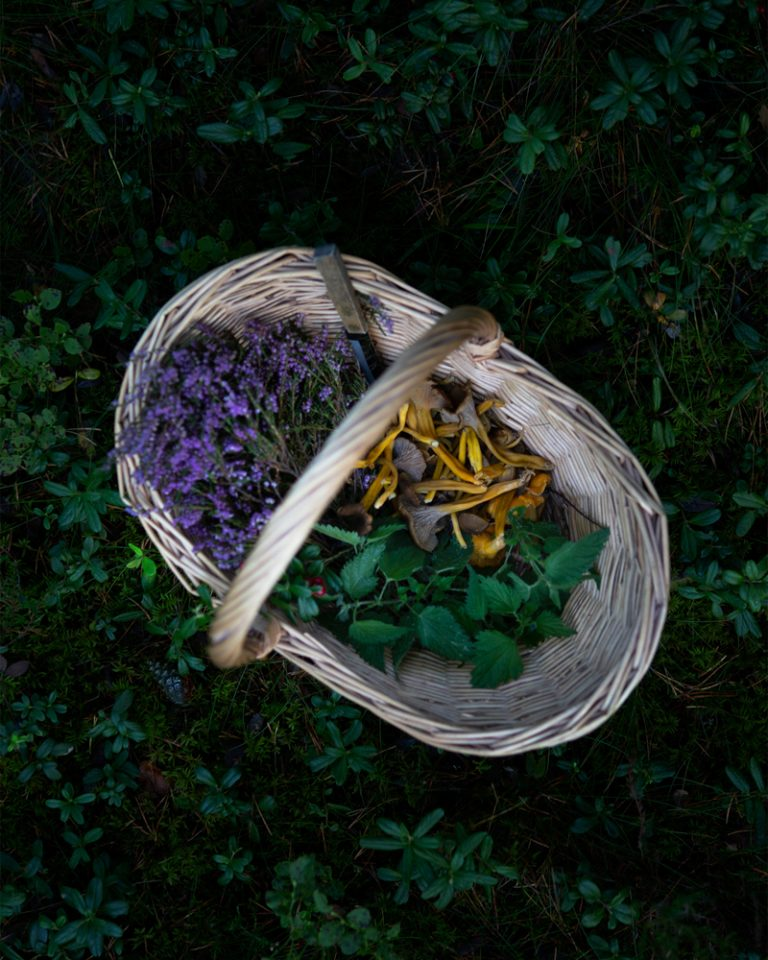 Basket with heather, nettle and funnel chanterelle in a forest