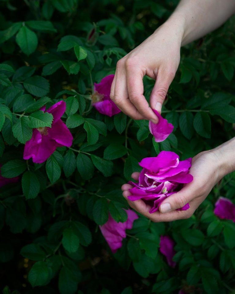 Ruusunlehtien kerääminen
