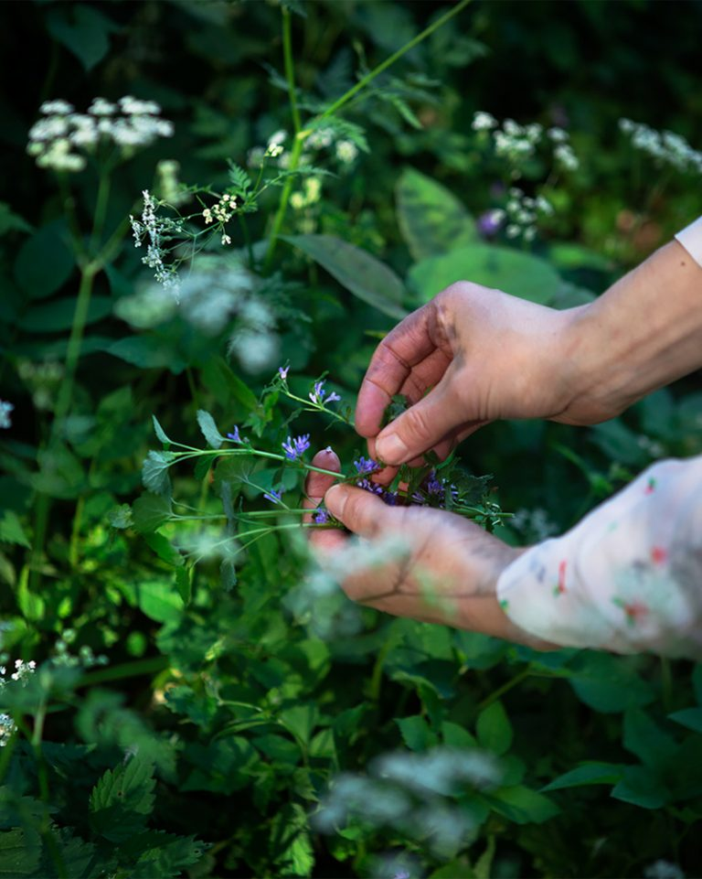 Picking wild edible flowers