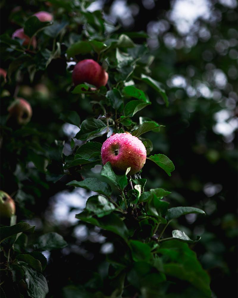 blushing-apple